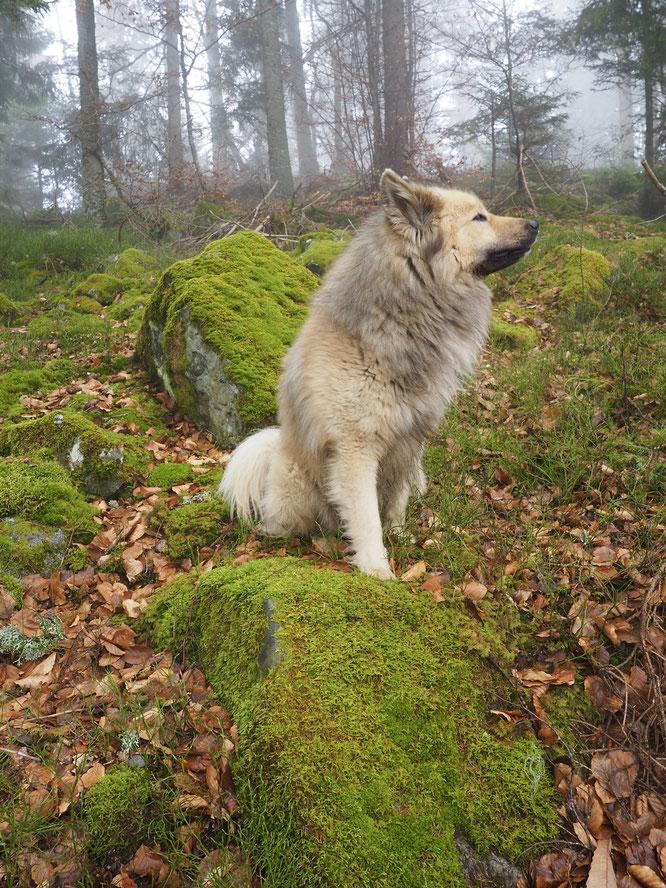 Forêt de Freydières, 1200m hier matin en Belledonne. Pas de neige, un petit brouillard, des montagnes désertées. Ambiance, couleurs, silence... la nature vous imprègne profondément. Humilité, respect croissent au plus profond de l'être....