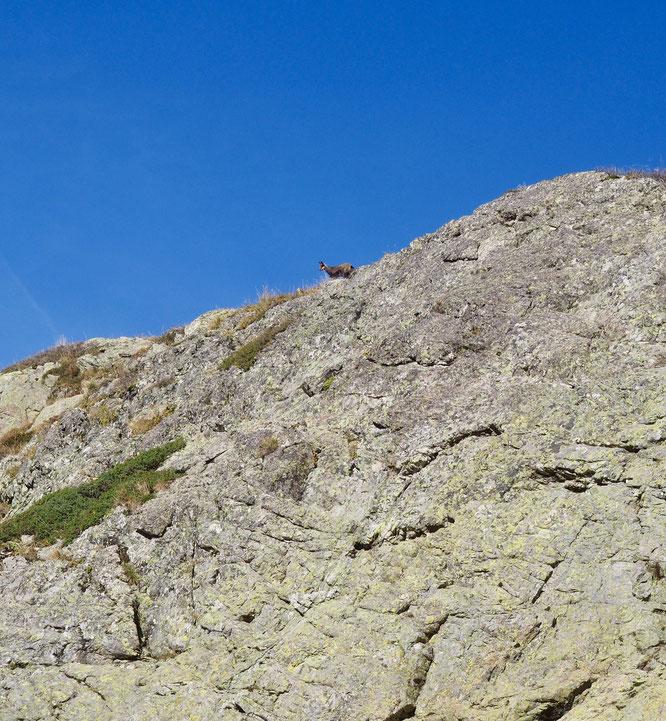 C'était jeudi midi au dessus de Freydières. Juste devant moi 17 chamois ont coupé le sentier avant de remonter en courant et de réapparaitre, peut être à tour de rôle, pour m'observer depuis là haut...