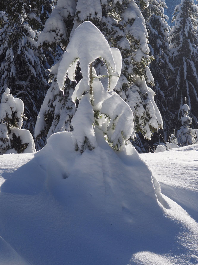 La forêt de Freydières lendemain de chute de neige. Beauté magique !
