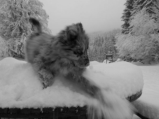 La Gélinotte, samedi matin. Dernière vraie neige poudreuse de la saison ? Avec Dalva la petite chienne de 2 mois, qui dès cet été montera aux alpages pour travailler avec les brebis, aux cotés de Nathalie, la bergère. Belle vie là-haut !