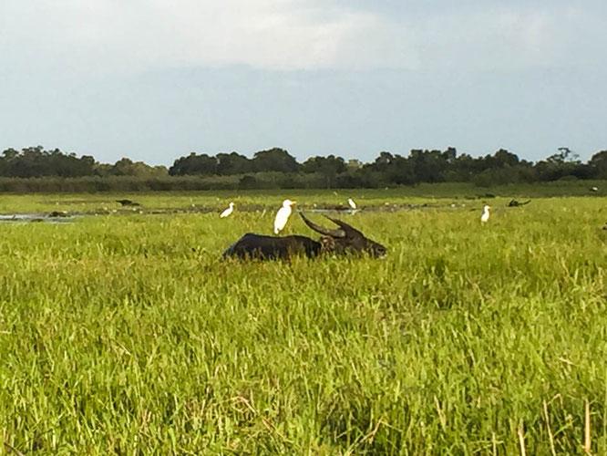 Wasserbüffel im Thale Noi