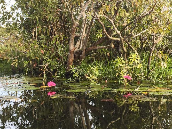 wunderschön blühende Seerosen