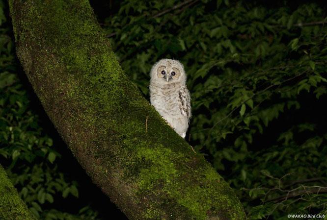 森は漆黒の闇の世界。深夜2時、一羽のフクロウの雛が巣立ちを迎えました。