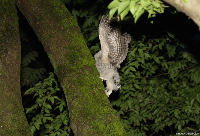 垂直に近くなると翼でバランスをとりながら、慎重にゆっくり登ります。