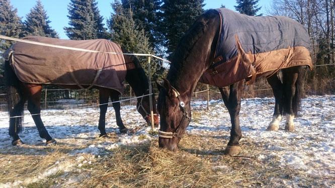 Ramses und Quidam im Winter auf der Koppel