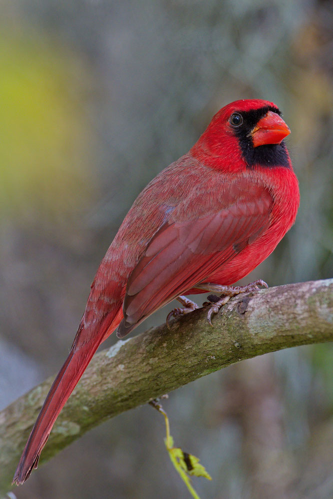 Circle B Bar Reserve / Red Cardinal
