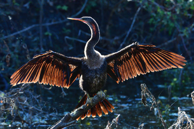 Circle B Bar Reserve / Anhinga; sunbathing