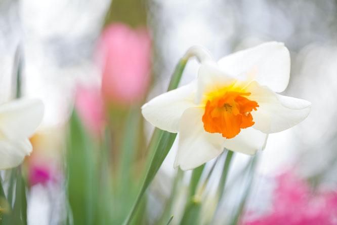 welke bloembollen zijn voorjaarsbloeiers?