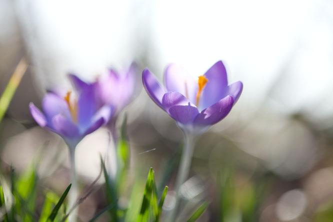 bloembollen voor het voorjaar