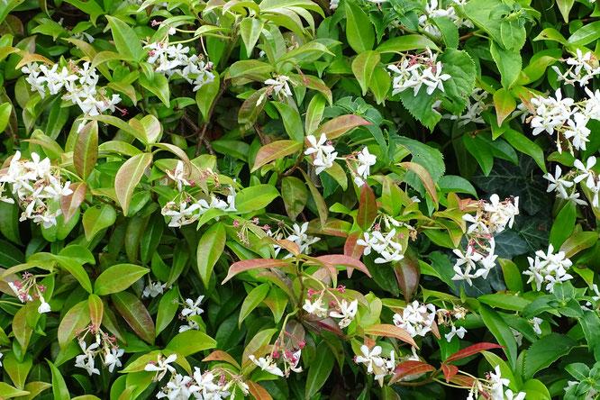 fleurige tuinplant Toscaanse Jasmijn