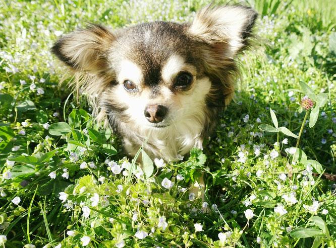 Natürliche Ernährung bei Hunden, Barf, Chihuahua, Blumenwiese