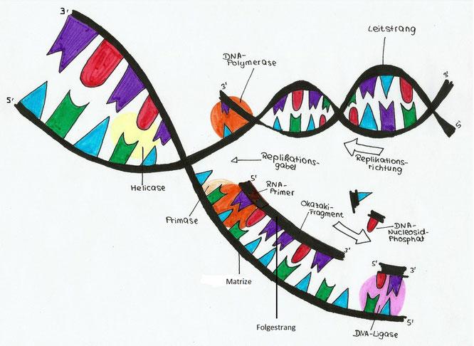 Wie läuft die DNA-Replikation ab? - Erklärungsversuch 1 - Bio ...