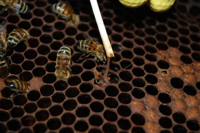amerikanische Faulbrut, Bienen, Bienenverein, Bienenzuchtverein, Imker, Honig, Merkstein, Bienenzuchtverein Merkstein