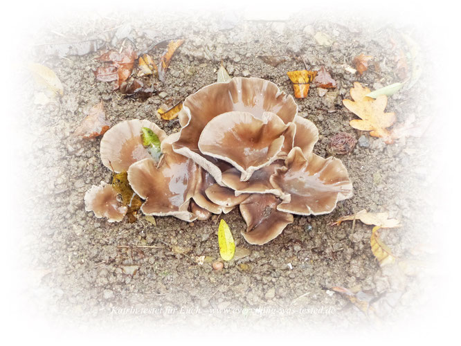 Nachtrag vom 12.11.2017 - Die Pilze sind im Garten noch gewachsen, was ich nicht erwartet hätte ! !