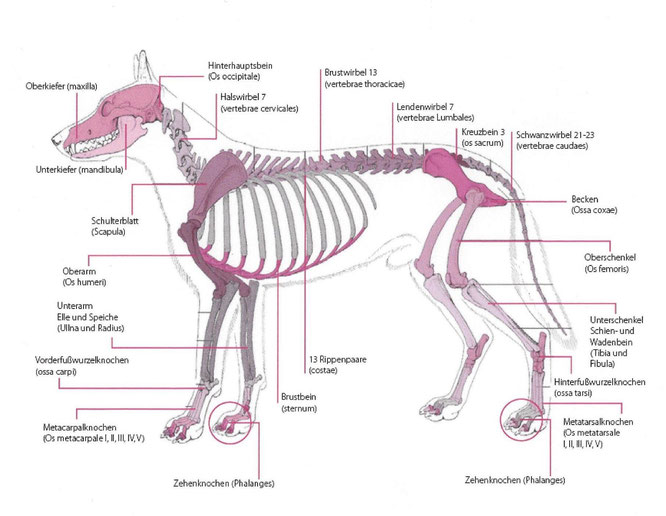 Anatomie - Pudelpointer-vom-Drawehn