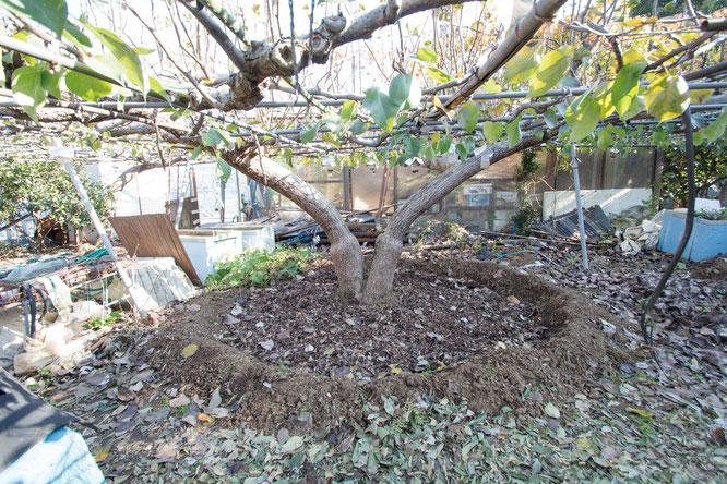 根元の周りにあった土や落ち葉などを一旦、円状に除けてから施肥をする。自家製の有機質肥料を中心に、米ぬかやぼかし肥を撒くのが松屋流。