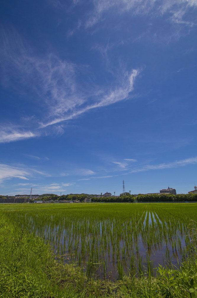 例年なら梅雨真っ盛りのこの季節。しかし日照時間も多くなり、稲の生長にとっては悪いことではないようだ。