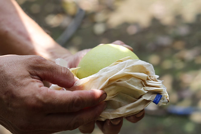 収穫直後の梨