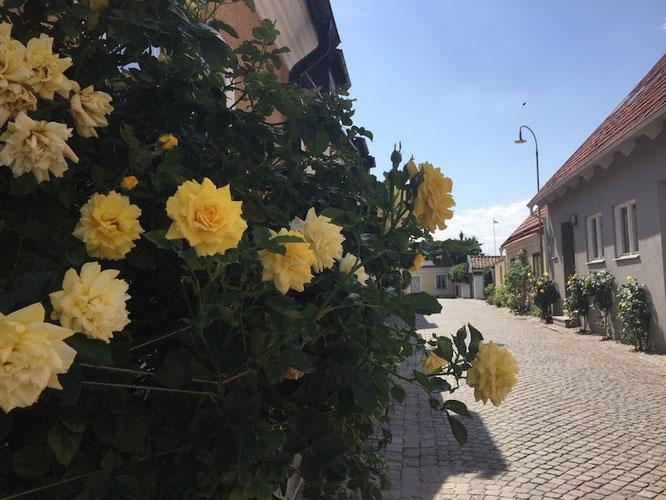 Kopfsteinpflaster und Rosen: So sehen die Gassen die Gassen in Visby auf Gotland im Sommer aus...