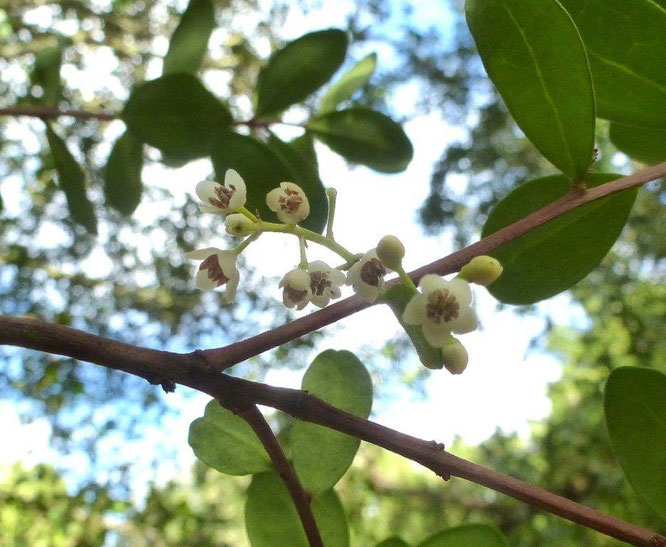 インスピレーションの木 シーグアリーの花