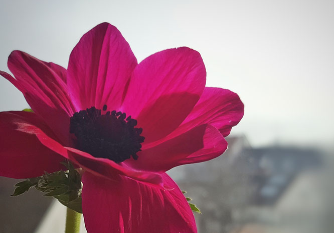Frühjahrsputz; Anemone; Random Reflections; live4happiness2day; bloggingforinspiration