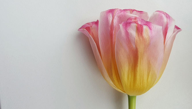 Tulpe; Schönheit; Veränderung; Change; beauty; withering; Verblühen; tulip; fading flower; aging beauty; Random Reflections; live4happiness2day; bloggingforinspiration