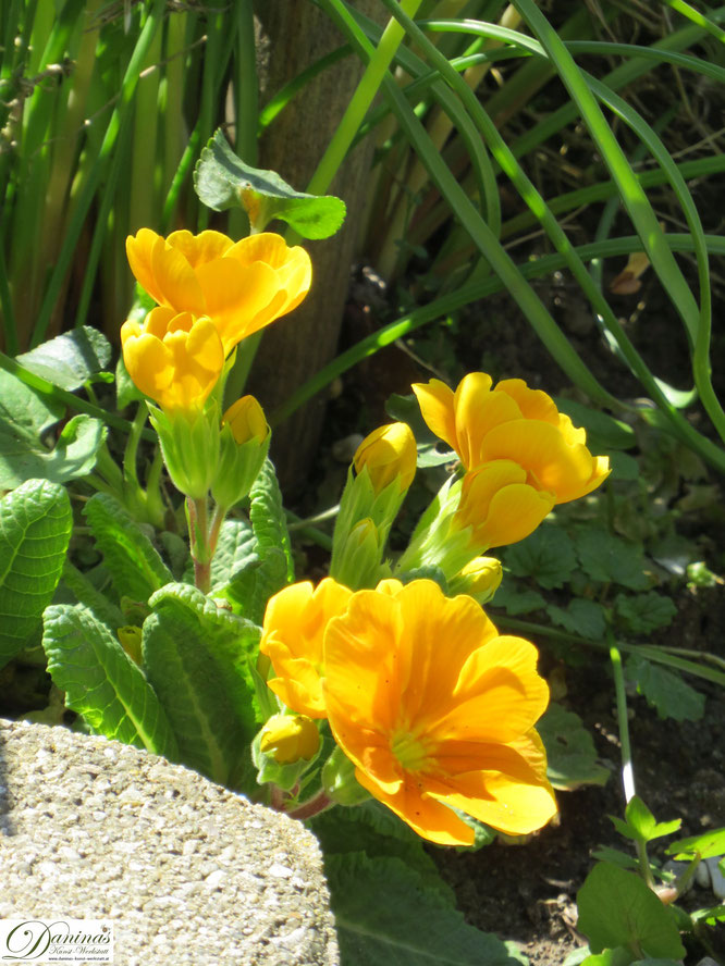 Primel - Frühlingsblumen im Garten