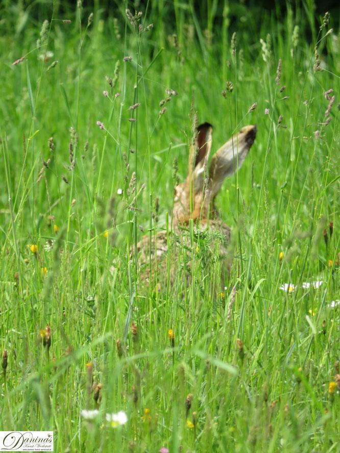 Feldhase in Blumenwiese auf der Suche nach den besten Leckerbissen.