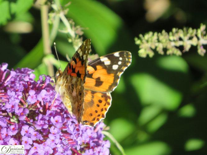 Schmetterlinge im Garten - Distelfalter