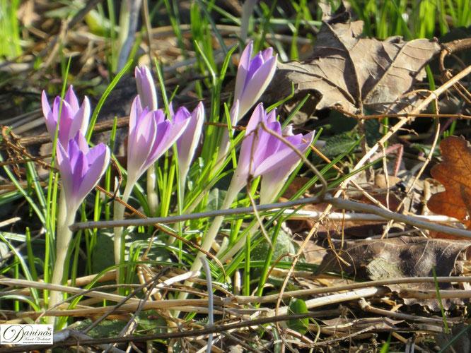 Frühling im Wald. Aufblühende Krokusse.
