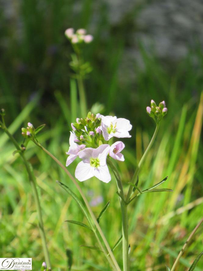 Wiesenschaumkraut im Garten - Wilde Wiesenblumen im Frühling