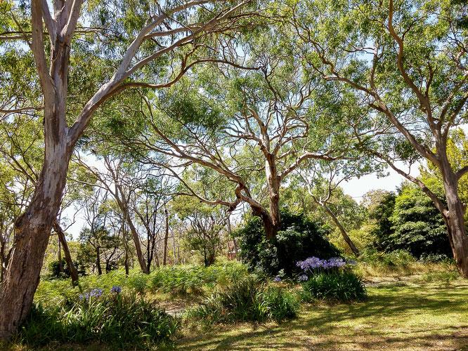 So sieht der Lebensraum der Koalas auf Raymond Island aus.