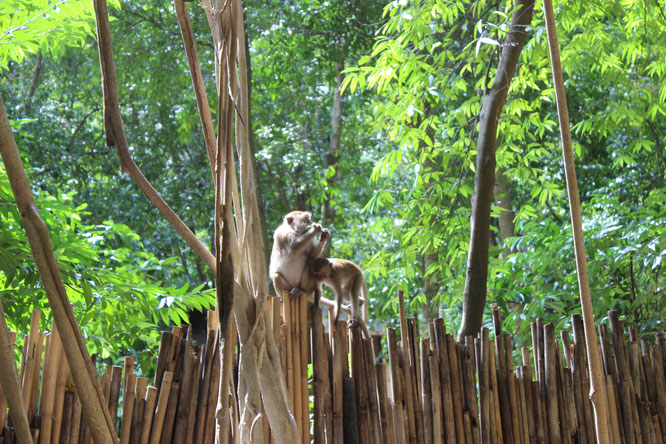 Rundreise-thailand.insel-hopping-selbst-planen-affen