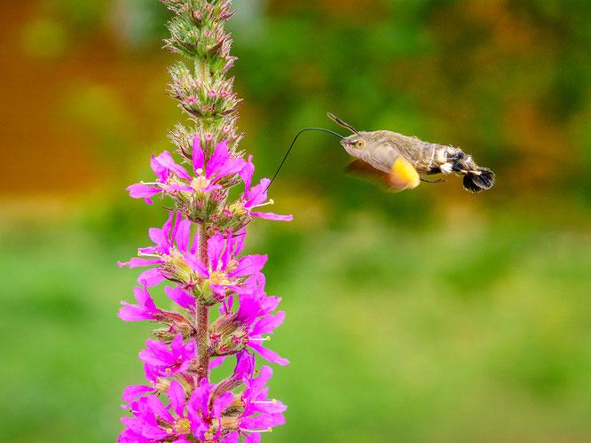 Tiere Bokeh Blume Franken Insekt