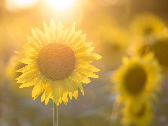 Sonnenblume Feld Goldene Stunde Bokeh Sommer Sonne