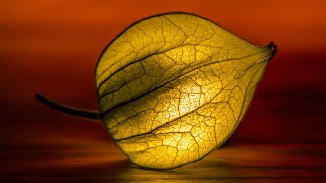 lampionblume blume natur physalis alkekengi makro taschenlampe