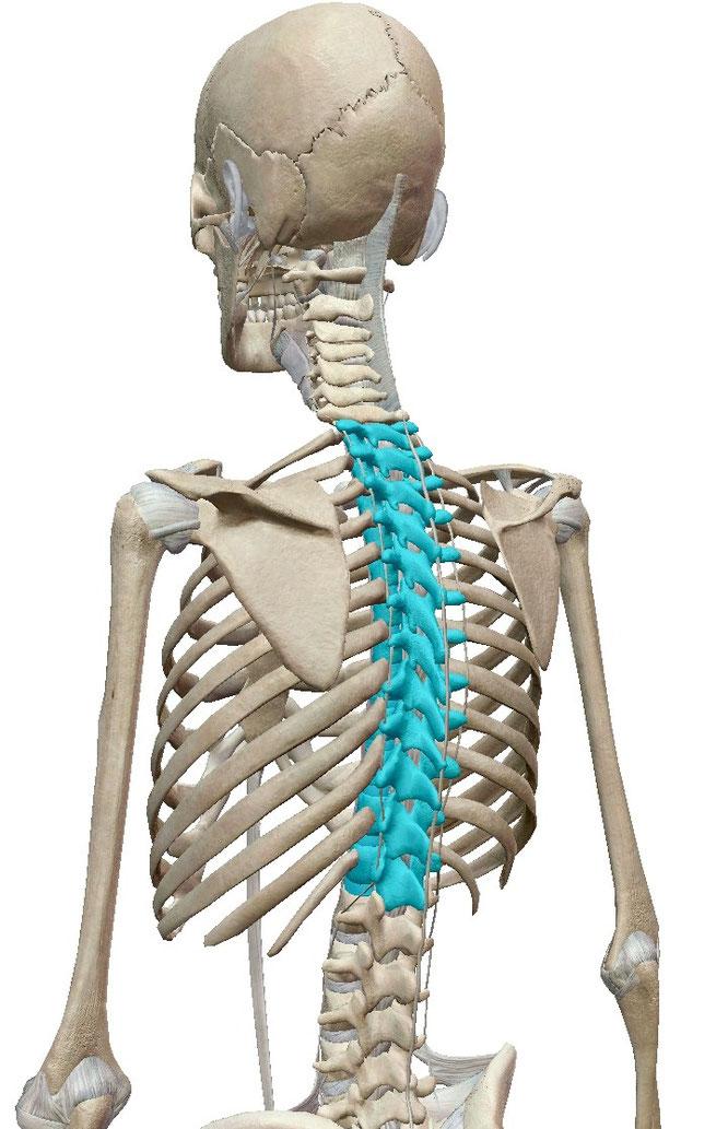 猫背矯正 胸椎