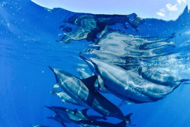 ハワイ島の海を自由に泳ぐイルカ達