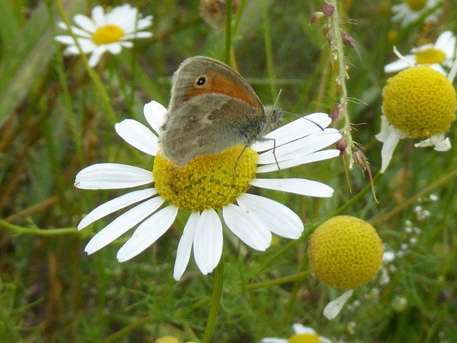 Ein Schmetterling. Er heißt: Kleines Wiesenvögelchen (Foto: Martina Polensky/NABU-GG)