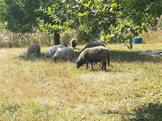 Schafe sind gute Rasenmäher (Foto: Martina Polensky/ NABU-Groß-Gerau)