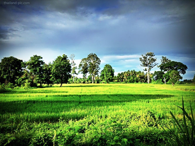Rice Field in Chainat - Thailand