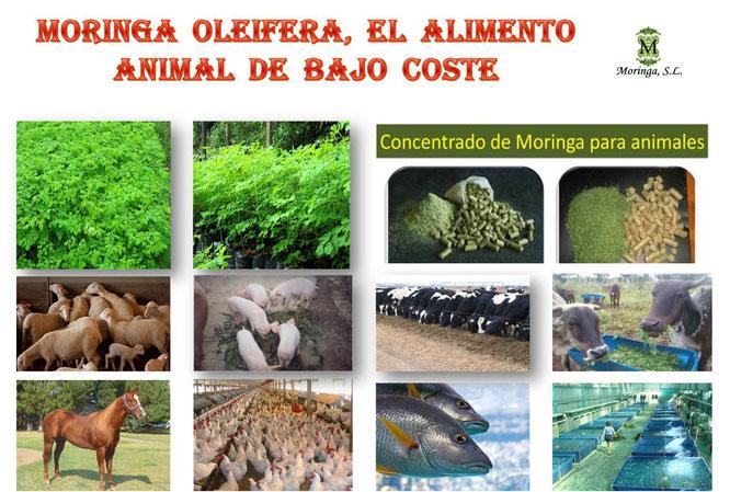 Moringa para animales de granja