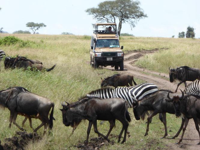 Bild: Wanderung der Gnus und Zebras