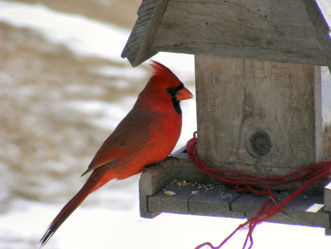 Quelle: https://upload.wikimedia.org/wikipedia/commons/d/d2/Male_Northern_Cardinal_At_Feeder.jpg (15.12.18)