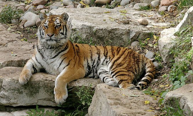 Quelle: https://commons.wikimedia.org/wiki/File:Siberian_Tiger.jpg (15.12.18)