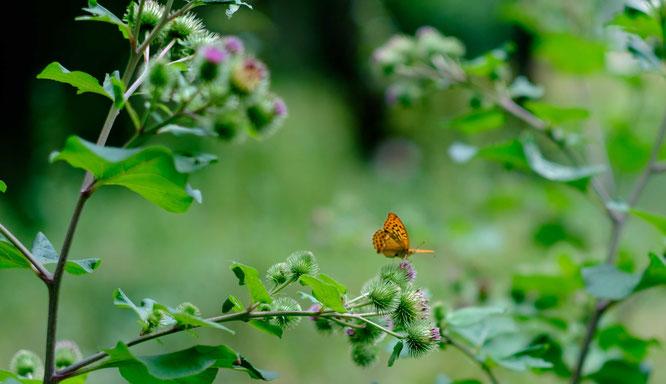 Schmetterlinge werden auch als homöopathische Arzneien eingesetzt.  Praxis für Klassische Homöopathie, Claudia Buchenauer, Heilpraktikerin, Darmstadt