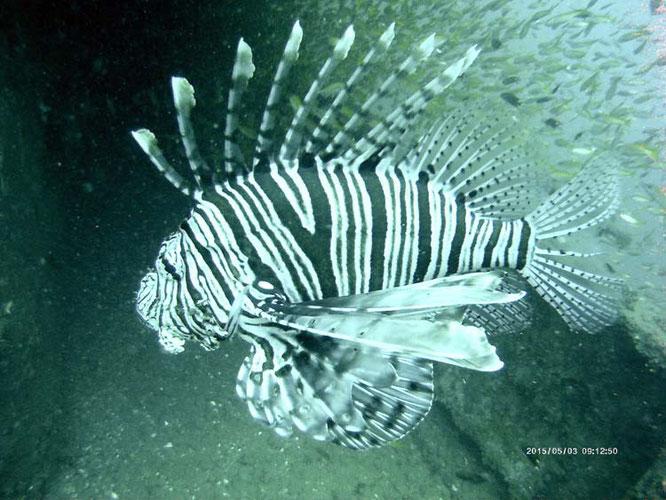 Lionfish Wrack Koh Phi Phi