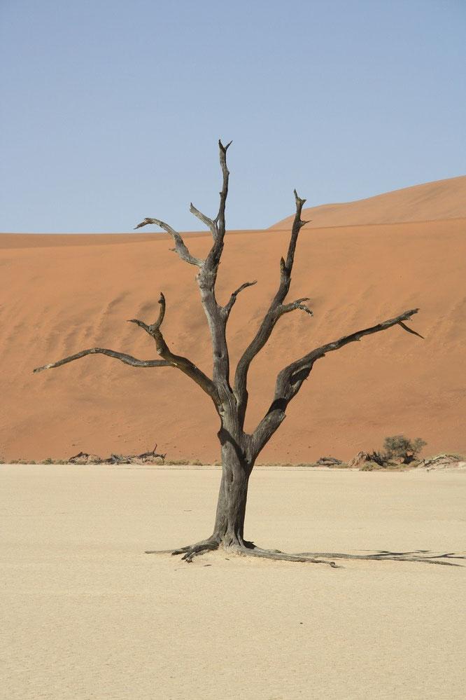 Namib Baum Arkazienbaum