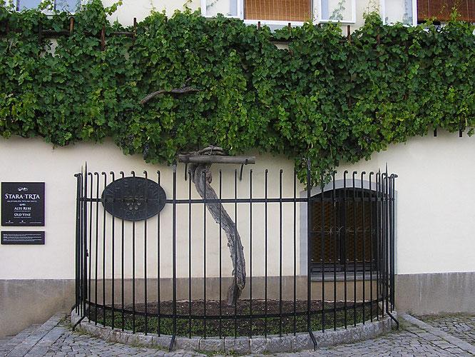 Foto © Beate E. Wimmer: Die angeblich älteste Weinrebe der Welt in der Altstadt von Maribor