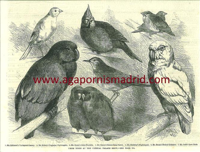 A. pullarius en la exposición de aves del palacio de Cristal de Londres en 1866